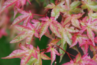 Javor dlanitolistý 'Beni-maiko' - Acer palmatum