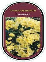 Rododendron (T) 'Goldkrone' ® - Rhododendron (T) 'Goldkrone' ®