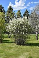 Muchovník olšolistý 'Smoky' - Amelanchier alnifolia 'Smoky'