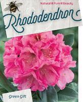 Rododendron (Y) 'Sweet Sue' – Rhododendron (Y) 'Sweet Sue'