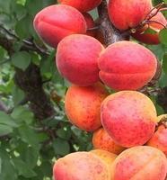 Meruňka Harogem - Prunus Harogem prostokořenná