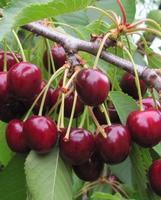 Třešeň Kaštanka - cizosprašná - Prunus Kaštanka prostokořenná