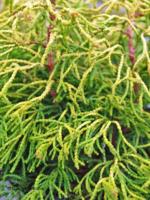 Cypřišek tupolistý 'Tsatsumi Gold' - Chamaecyparis obtusa 'Tsatsumi Gold'