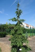 Smrk ztepilý 'Rothenhaus' - Picea abies 'Rothenhaus'