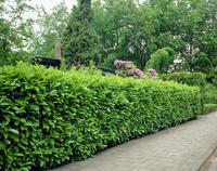 Bobkovišeň lékařská Rotundifolia - Bobkovišeň lékařská Rotundifolia