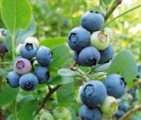 Borůvka choch. 'Brigitta Blue' - Vacc. corymbosum 'Brigitta Blue'