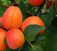 Meruňka Maďarská - Prunus Maďarská prostokořenná