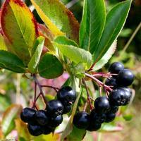 Jeřáb černý 'Nero' - Aronia prunifolia 'Nero' prostokořený