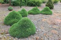 Smrk ztepilý 'Tompa' - Picea abies 'Tompa'