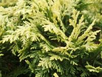 Cypřišek Lawsonův 'Pygmaea Argentea' - Chamaecyparis lawsoniana  'Pygmaea Argentea'