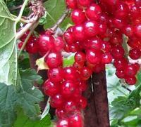 Rybíz červený 'Kozolupský raný' - Ribes rubrum 'Kozolupský raný' prostokořenný