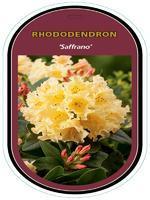 Rododendron (T) 'Saffrano' – Rhododendron (T) 'Saffrano'