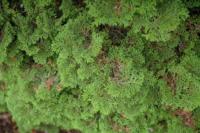 Cypřišek tupolistý 'Pygmaea' - Chamaecyparis obtusa 'Pygmaea'