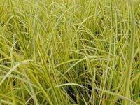 Puškvorec trávovitý 'Ogon' - Acorus gramineus 'Ogon'