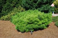 Borovice hustokvětá 'Jane Kluis'  - Pinus densiflora 'Jane Kluis'