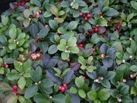 Libavka poléhavá - Gaultheria procumbens