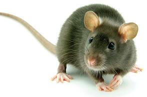 Myši, potkani, krysy a hlodavci