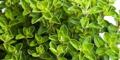 Zelené hnojení