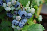 Borůvka chocholičnatá 'Bluecrop'- Vaccinium corymbosum 'Bluecrop'
