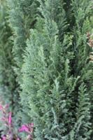 Cypřišek Lawsonův 'Ellwoodii' - Chamaecyparis lawsoniana 'Ellwoodii'