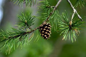 Jehličnaté stromy a keře