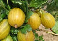 Angrešt žlutý Zlatý fík - Ribes uva-crispa Zlatý fík prostokořenný