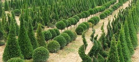 Tvarované dřeviny a bonsaje