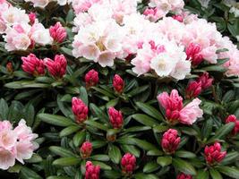 Rododendrony yakushimanum
