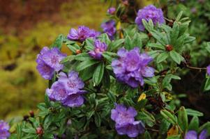 Rododendrony drobnolisté