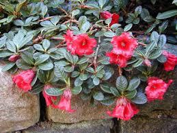 Rododendrony zakrslé