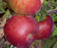 Jabloň Hana - Malus Hana prostokořenná