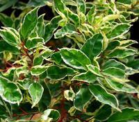 Bobkovišeň portugalská Variegata - Prunus lusitanica Variegata