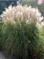 Ozdobnice čínská 'Graziella' - Miscanthus sinensis 'Graziella'