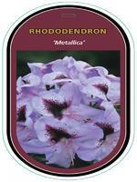 Rododendron (T) 'Metallica' – Rhododendron (T) 'Metallica'