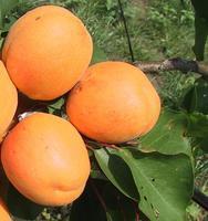 Meruňka Hargrand - Prunus Hargrand prostokořenná
