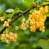Rybíz červený 'Werdavia' - Ribes rubrum 'Werdavia'