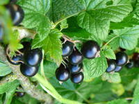 Rybíz černý 'Ojebyn' - Ribes nigrum 'Ojebyn' keřový