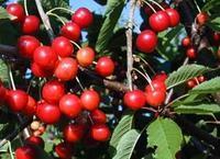 Třešeň Halka - samosprašá - Prunus Halka prostokořenná
