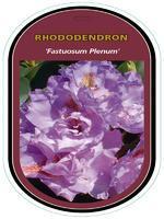Rododendron (T) 'Fastuosum Flore Pleno' – Rhododendron (T) 'Fastuosum Flore Pleno'