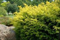 Tis červený 'Summergold' - Taxus baccata 'Summergold'