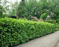 Prunus laurocerasus 'Rotundifolia' - Bobkovišeň lékařská 'Rotundifolia'