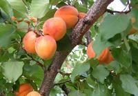 Meruňka Leskora - Prunus Leskora prostokořenná