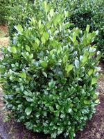 Bobkovišeň lékařská Mano - Prunus laurocerasus Mano