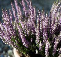 Vřes obecný 'Hilda'- Calluna vulgaris 'Hilda'