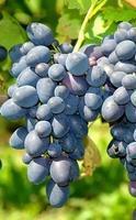 Vinná réva 'Muškát modrý' - Vitis vinifera 'Muškát modrý'