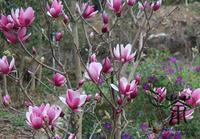 Šácholan liliokvětý 'Purpurea' - Šácholan liliokvětý 'Purpurea'