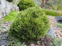 Borovice bělokorá 'Schmidtii' -Pinus leucodermis 'Schmidtii'