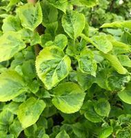 Hortenzie řapíkatá 'Miranda' - Hydrangea petiolaris 'Miranda'