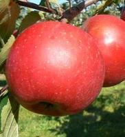 Jabloň Bohemia Red - Malus Bohemia Red