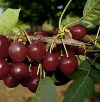 Třešeň Lapins - samosprašná - Prunus Lapins prostokořenná